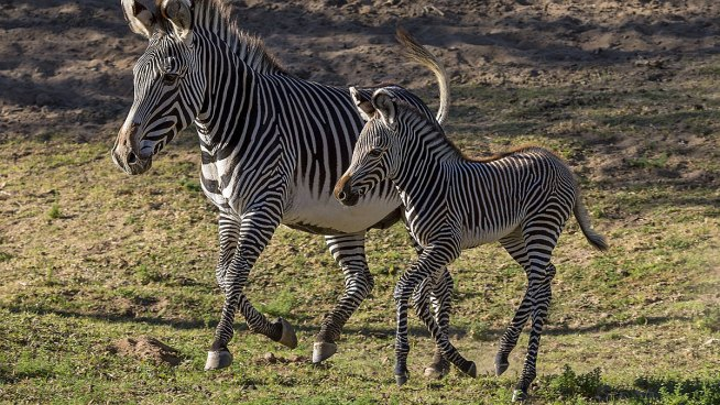 New Foal for Endangered Zebras