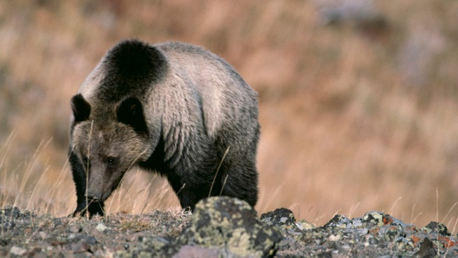 Grizzly Bear Eyed in Second Yellowstone Fatality
