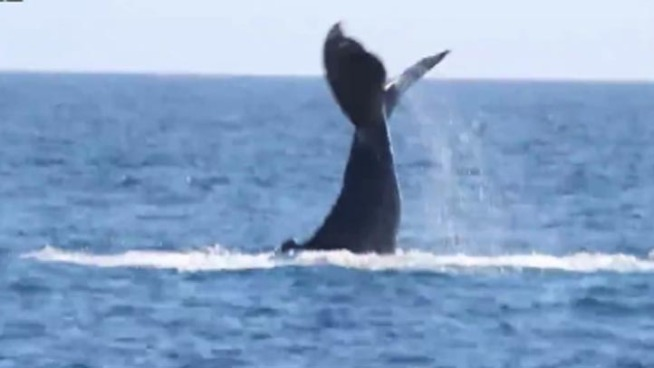 Boaters off the coast of Dana Point were treated to a rare and flamboyant appearance by a humpback whale. Spectators called it a wave, but the humpback was actually displaying a behavior called