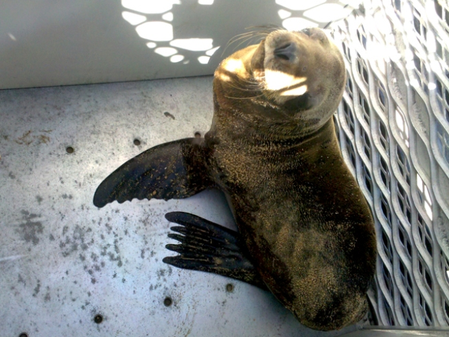 Injured Sea Lion Rescued