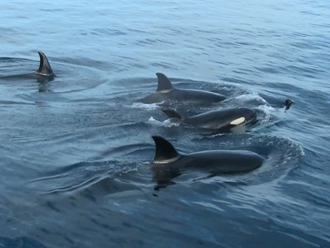 Orca Sightings off San Diego
