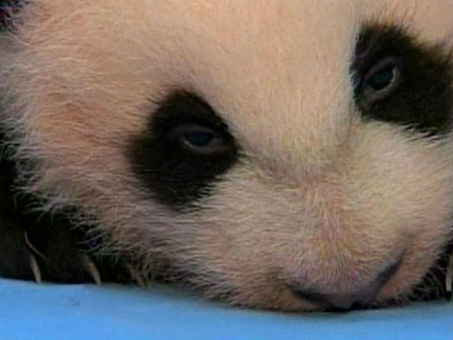 Panda Cub Squeals During Exam