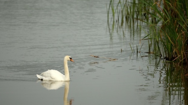 Maryland to Slaughter Fat Mute Swans