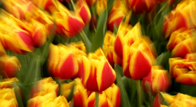 Flower People, Pier 39's Tulipmania Is Soon to Bloom