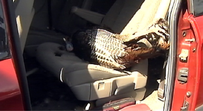 Vulture Crashes Thru Minivan, Maims Woman