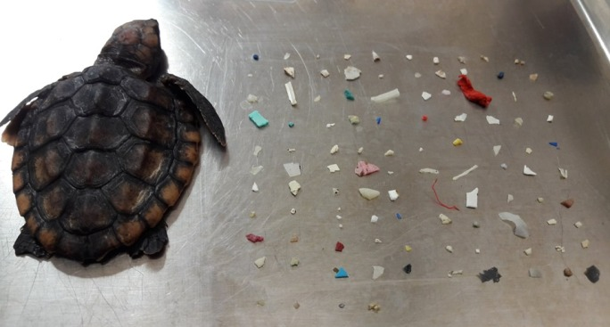 [NATL] Unbelievable Animal Stories: Baby Turtle Dies After Eating 104 Pieces of Plastic