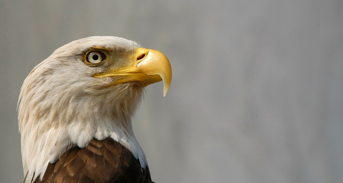 Eagles Soar Over NYC After 50-Year Absence