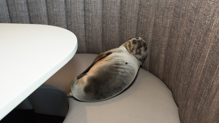 Photos: Sea Lion Sneaks Into Restaurant Booth