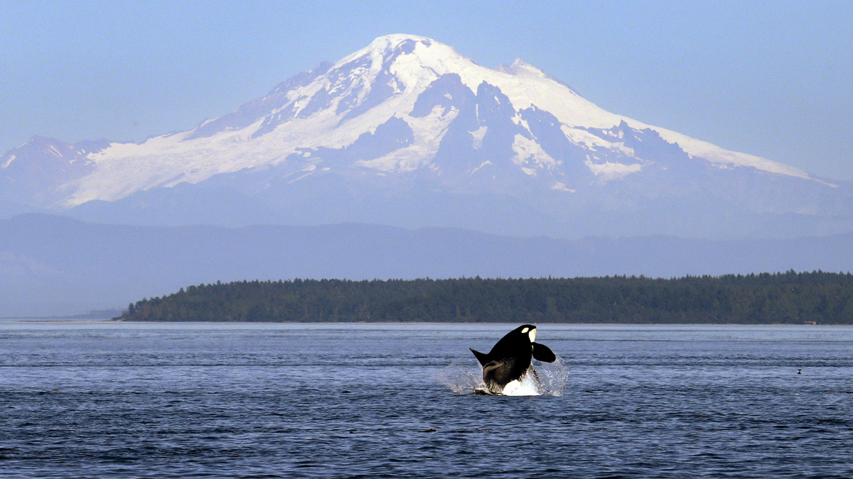In this July 31, 2015, file photo, an orca whale breaches in view of Mount Baker in the Salish Sea in the San Juan Islands, Wash.