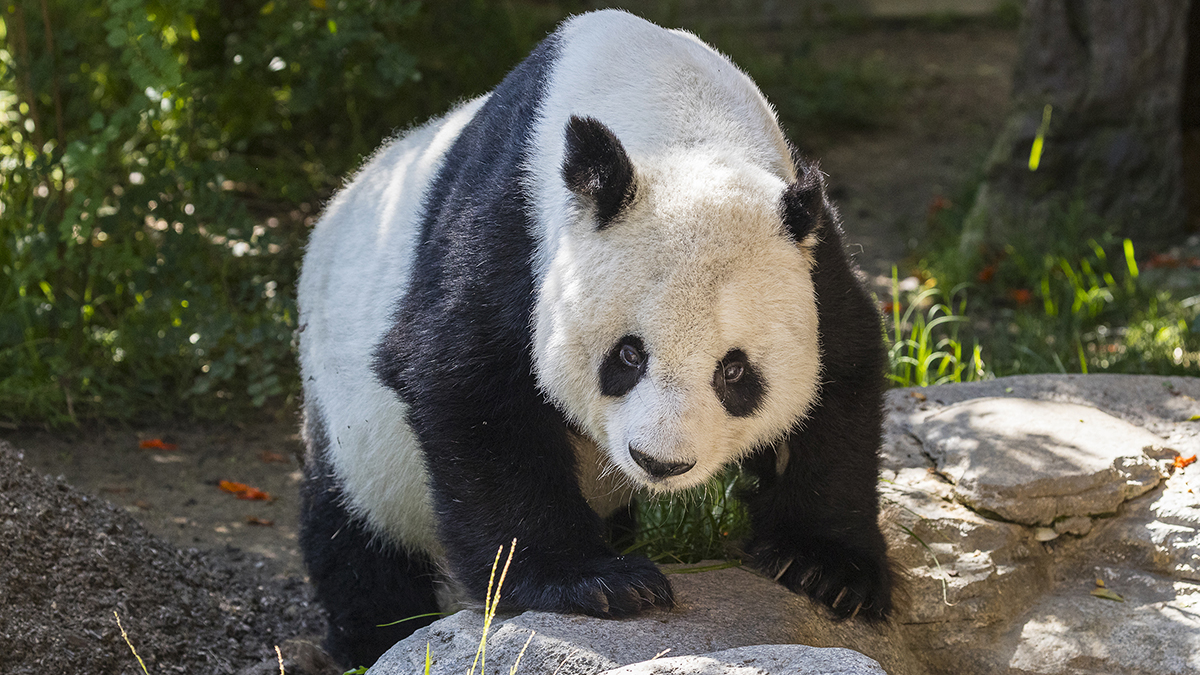 Giant panda Gao Gao has left the San Diego Zoo after living at the facility for many years as part of a loan and research agreement with the Chinese government.